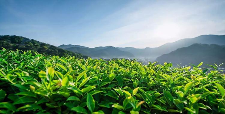 趁春光正好,让我们一起相约茶山!【茶山游学2019】