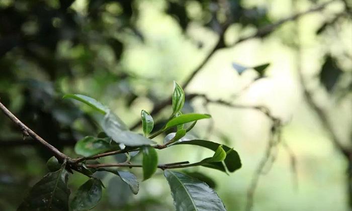 【舟山茶艺培训】秋茶好在哪?值得存吗?